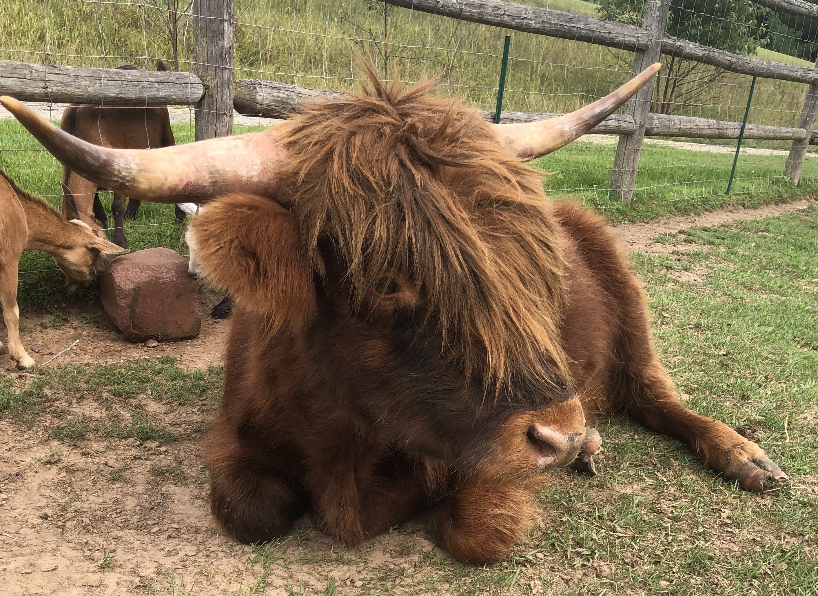 Miniature Highland Cattle God S Country Ranch