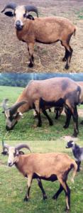 Registered American Blackbelly Rams
